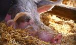 중국 여행객 휴대 축산물에서 아프리카돼지열병(ASF) 바이러스의 유전자 추가 확인